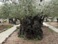 olive-tree-in-the-garden-of-gethsemane